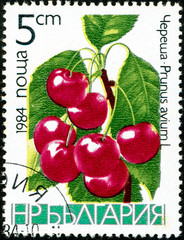 Ukraine - circa 2017: A postage stamp printed in Bulgaria shows drawing Sweet Cherry, Prunus avium. Series: Fruits. Circa 1984.
