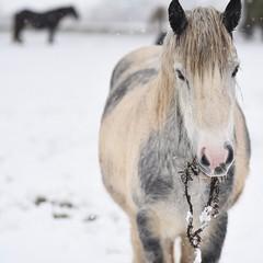 zimowy krajobraz z koniem jedzącym