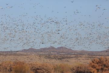 Snow geese Bosque del Apache, New Mexico USA