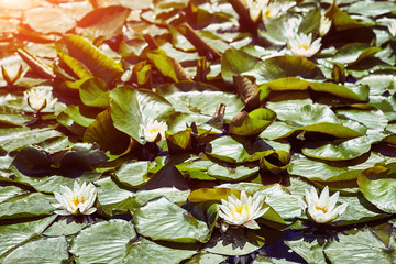 A beautiful  waterlily or lotus flower in pond