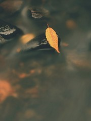 Yellow orange  rotten old beech  leaf on basalt stone in cold blurred water of mountain river, first symbol of fall.