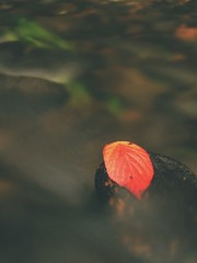 Red leaf of raspberries. Broken red orange leaf caught on black stone in stream  rapids.  Silver lines of bubbles