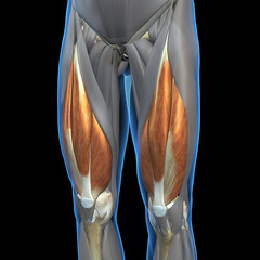 Quadriceps Leg Muscles Isolated