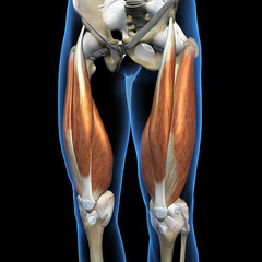 Quadriceps Muscles of the Leg Anterior View