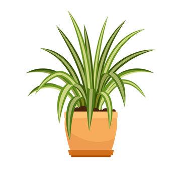 Chlorophytum house plant in flower pot