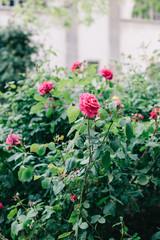 Beautiful pink roses in bloom