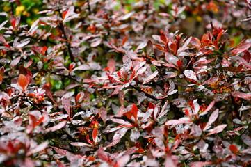 Czerwone , bordowe i brązowe liście na drzewie jesienią.