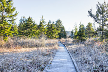 Frost white winter landscape with bushes, boardwalk and morning sunlight in Cranberry Wilderness glades bog, West Virginia and ice covered plants