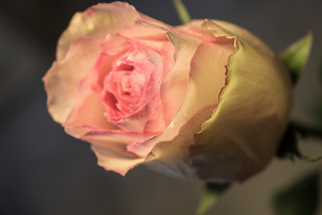 Rose. Decorative flower. Elegant romantic plant. Macro.