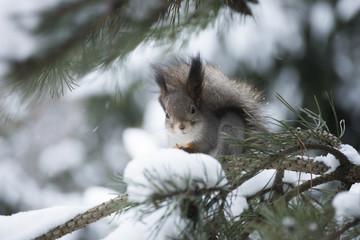 Белка кушает семена шишек на дереве зимой.