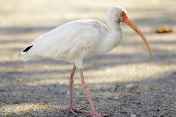 Image of an American White Ibis Bird