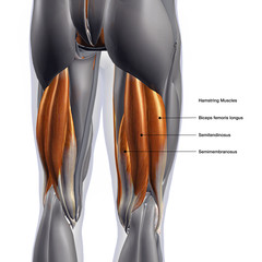 Hamstring Muscles Labeled, Male Posterior on White Background