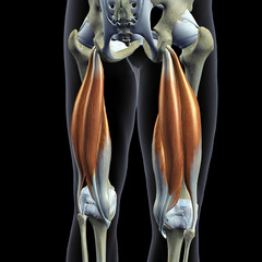 Hip Bones and Hamstring Muscles Isolated, Male Posterior on Black