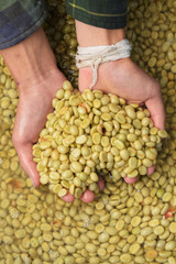 Green coffee beans in hand for background