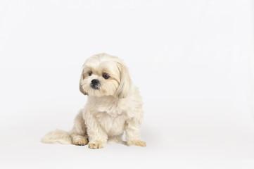 Maltese Shih-Tzu Dog