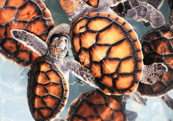 Baby Hawksbill Sea Turtles in Nursery Pool