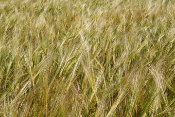 Field ears of arable land abstract background