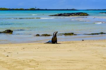 Lion de mer, Archipel des Galapagos, Équateur