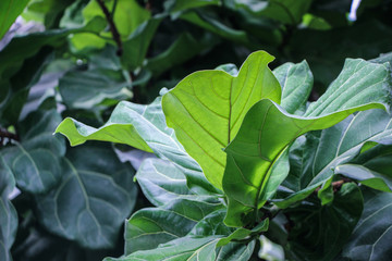 green Ficus Pandurata leaves on branch