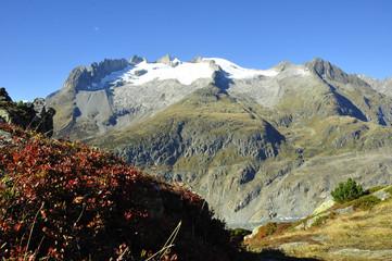 Alpenflora auf der Riederalp/Moosfluh mit den Fusshörnern und schmelzenden Gletschern.