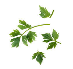 Celery or parsley leaves isolated on white background. Top view.