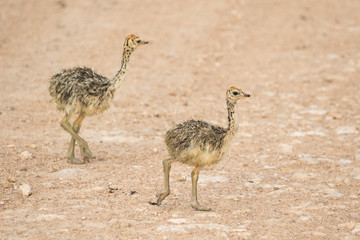South African ostrich chicks