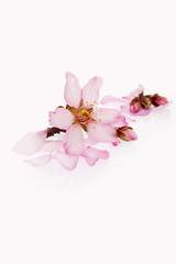 flor del almendro aislada