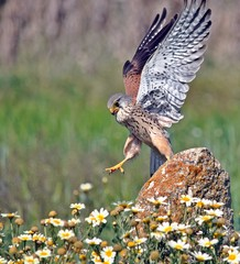 European Kestrel with daisy Flowers