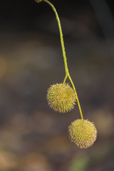 platanus tree seeds