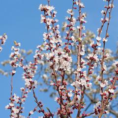 Blühender Aprikosenbaum, Prunus armeniaca