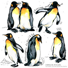 Emperor penguin watercolor illustration