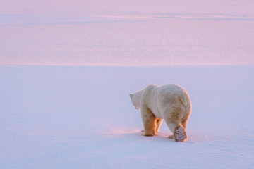Adult polar bear walking away over a flat snow covered landscape with the pink and purple light of a setting sun, Hudson Bay, Manitoba, Canada.