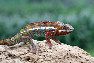 Close up of Panther chameleon sitting on rock