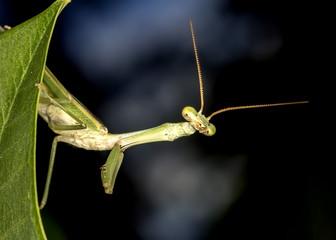 Praying-mantis on leaf close up photo - macro photo of Praying-mantis