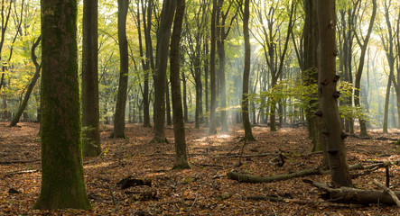 Sunlight beaming through forest, Speulderbos, Ermelo, Holland