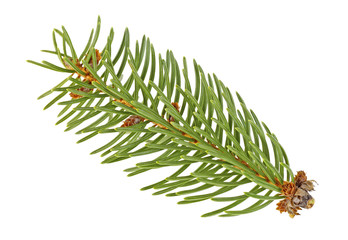 Closeup of fir branch isolated on a white background
