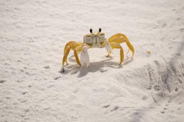 Sand Crab 01