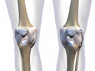 Knee Bone and Cartilage Anterior View