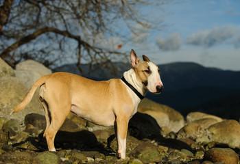 Bull Terrier dog outdoor portrait standing on rocky shore