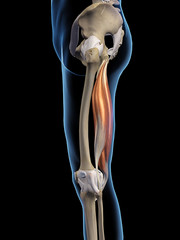 Hamstring Muscles Isolated Lateral View on Black