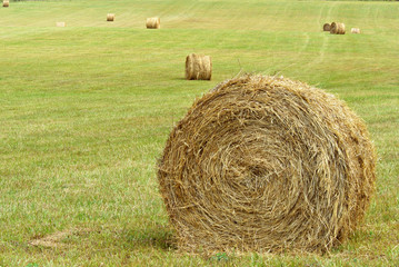 Big round bales of hay in a hay field.