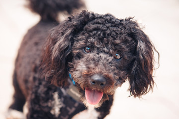 Chocolate poodle puppy
