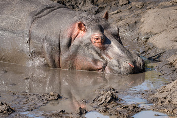 Portrait of a hippo in mud wallow, South Africa
