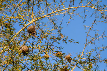 Tidy weaver bird nests in tree branches with yellow bark, big spikes, and small green leaves against a blue sky
