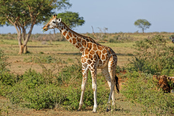 Giraffe at Murchison Falls Uganda