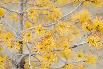 Pine tree with yellow pine needles.