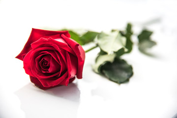 The red roses are placed on a white background