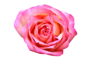 Top view pink rose flowers isolated on white background