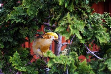 Chinese pheasant orange bird