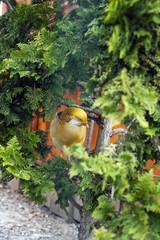 Golden pheasant orange bird sits on tree
